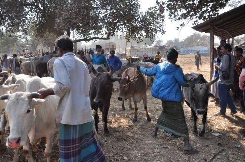 Cow_sale_Dhaka
